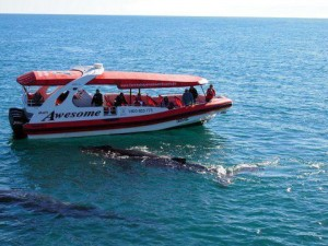 Hervey Bay Whale Watching Boat - That's Awesome